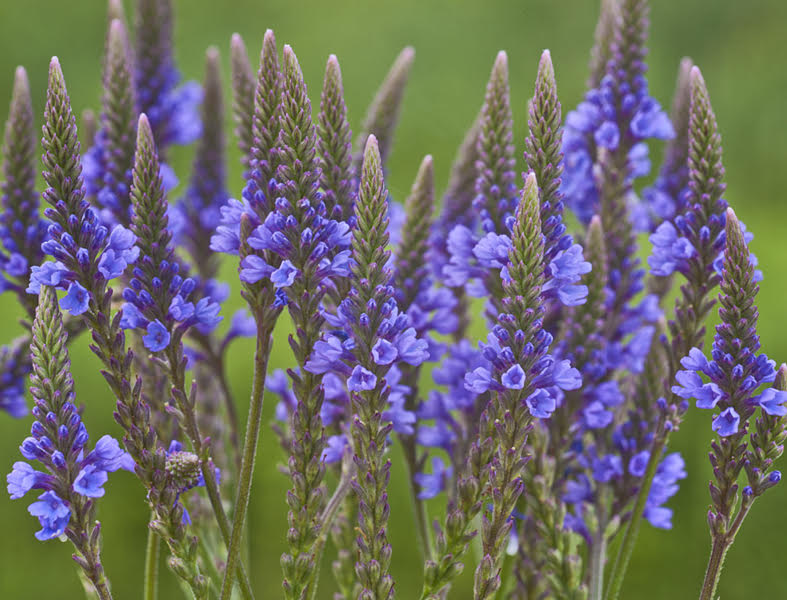 Vervain (Verbena officinalis): The Aesthetic Cure-all Herb