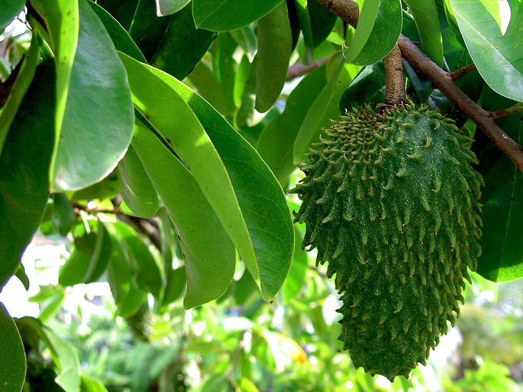 Guanabana (Soursop): Can the Benefits of a Fruit Juice Cure Cancer?